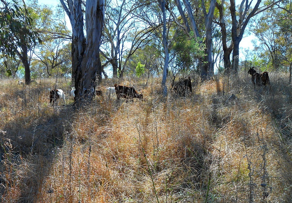 bush grazing for goats