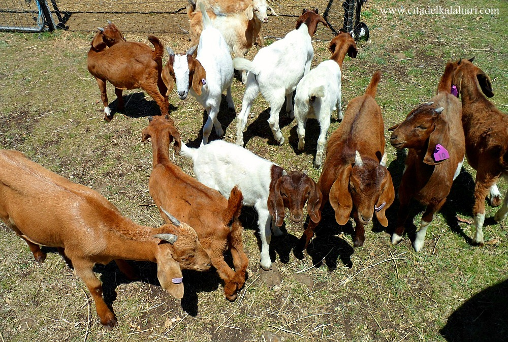 cluster of baby goats