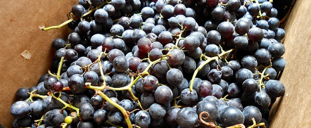 concord grapes in a box