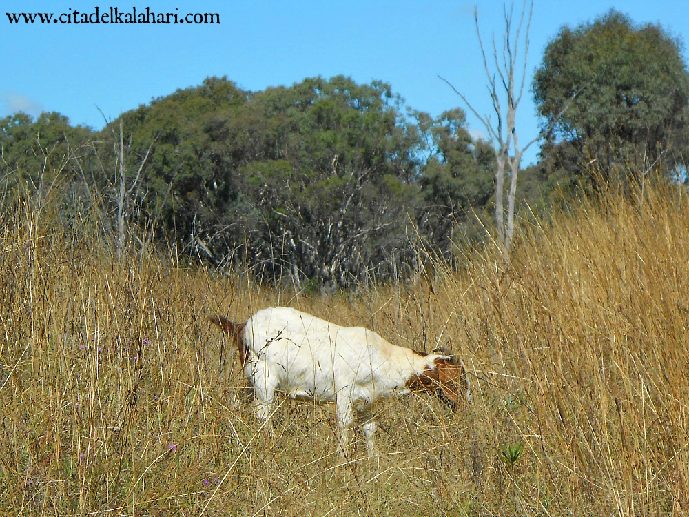 goat in tall grass