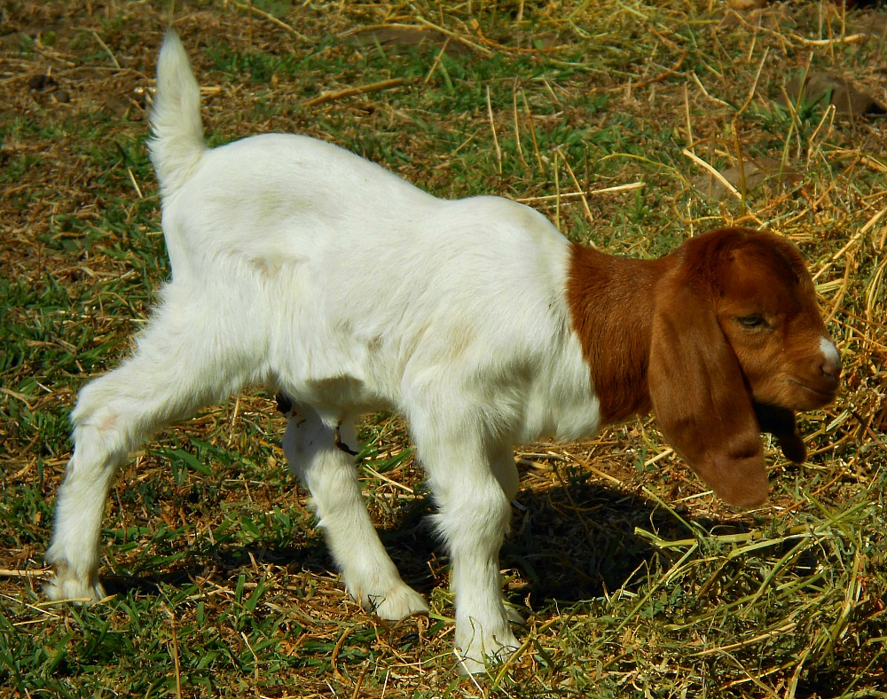 baby boer goats | little house in Australia