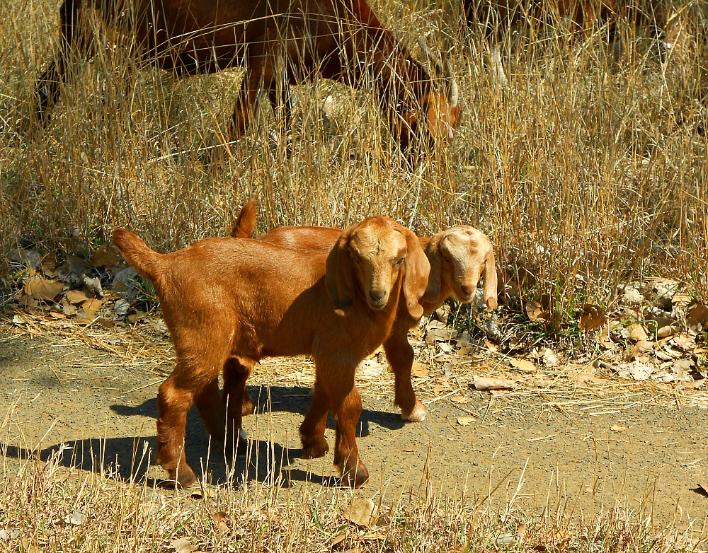 little goats on the road