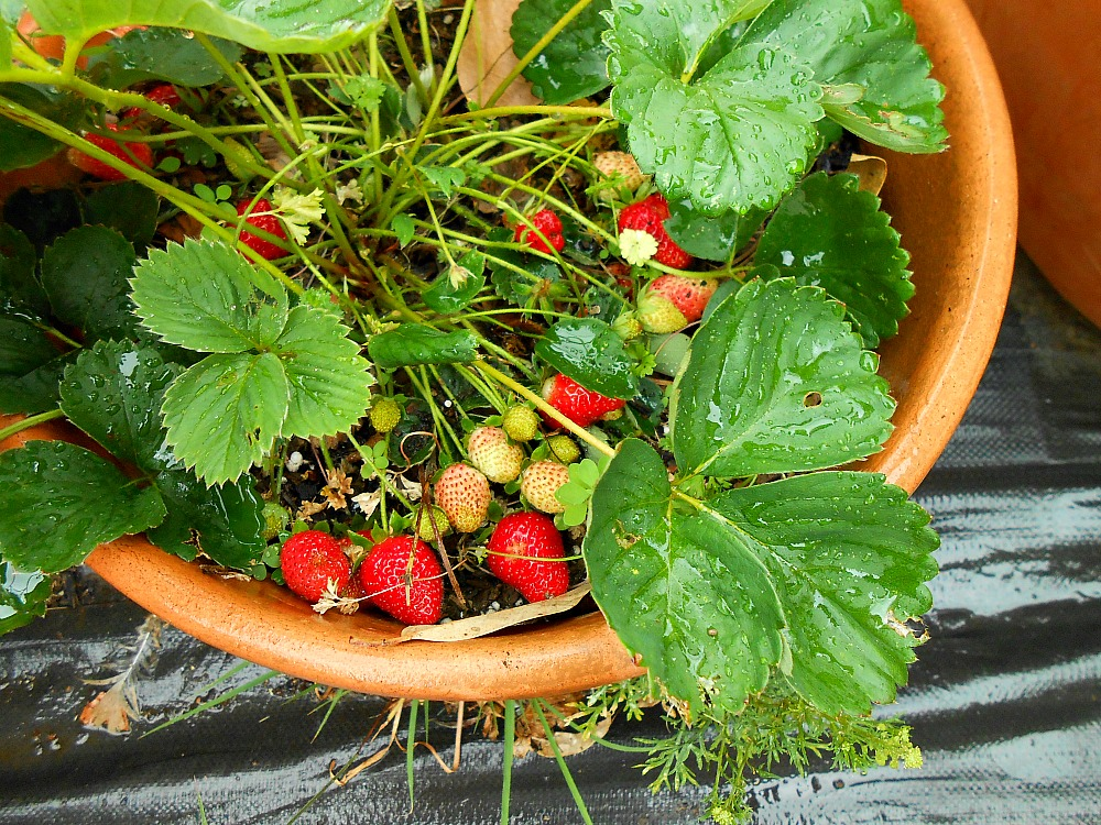 rain-washed strawberries
