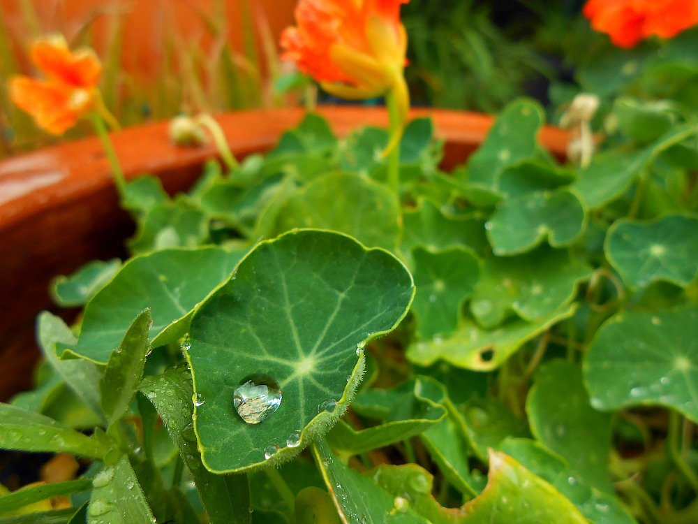 rain on nasturtium leaves