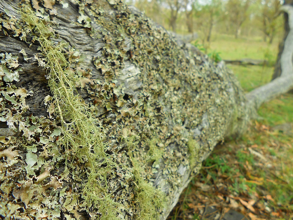 lichen covered fallen log