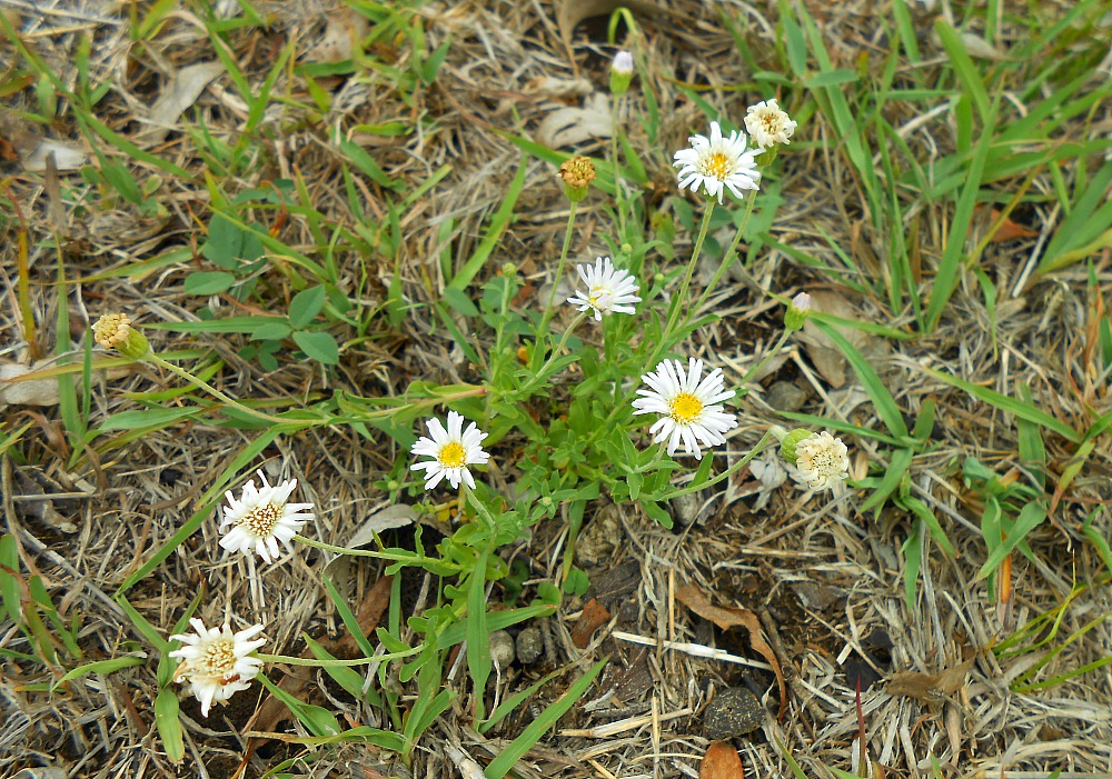 tiny white daisies