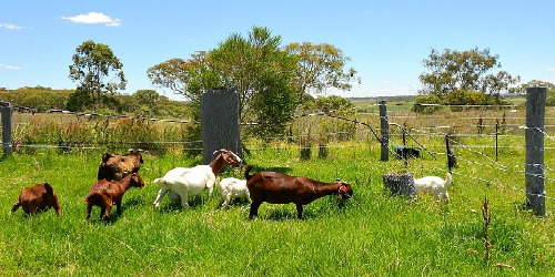Our Gorgeous Goats
