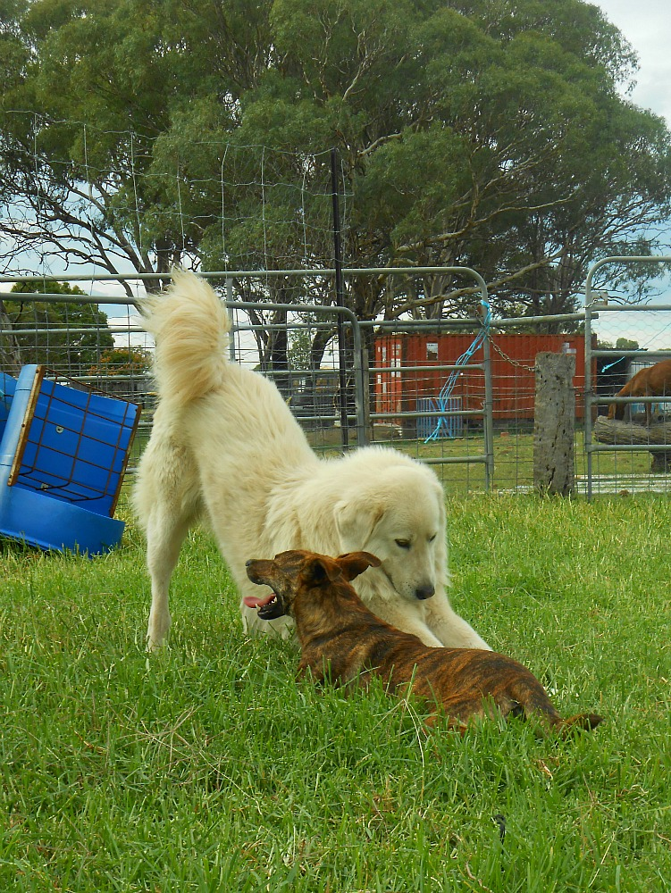 Maremma dog playing