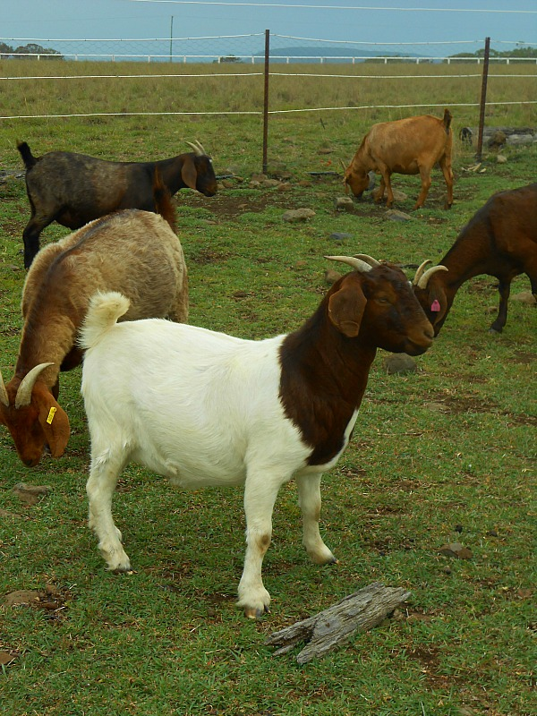 Boer Kalahari goats for sale