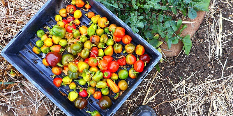 capsicums for chooks