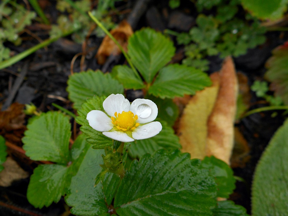 white strawberry flower