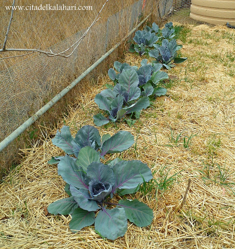 red cabbage plants
