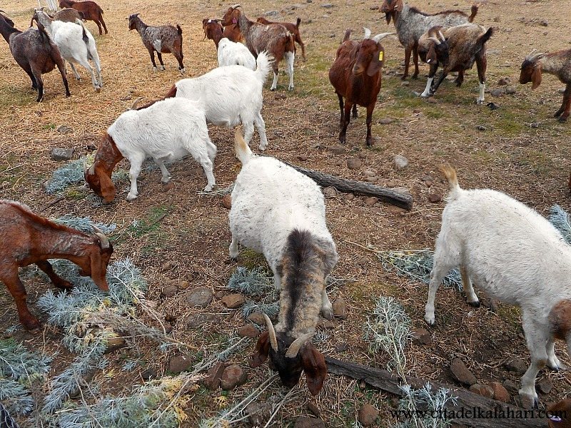 goats eating wormwood
